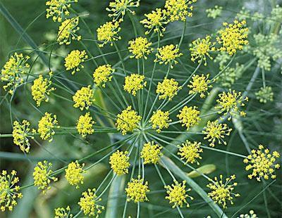 Rezene Rezene, Ege Bölgesi pazarlarında bahar aylarında bol bulunan bir bitkidir. Rezene çayı özellikle gaz ve kramp ağrılarında, mide ve bağırsak rahatsızlıklarında kullanılır. Özellikle bebeklerin gazlı olduğu zamanlarda sık başvurulan bir ilaçtır rezene çayı.   Hindiba Hem salatalarda, hem de haşlanarak zeytinyağı ve limon ilavesiyle kullanılabilen hindiba iyi bir idrar söktürücüdür. Karaciğer hastalarının, romatizmalıların ve şeker hastalarının sofralarının başköşesine oturtması gereken otlardan biridir. Hindiba çayı hazırlamak için kişi başına 1-2 tatlı kaşığı doğranmış hindiba kullanılır.