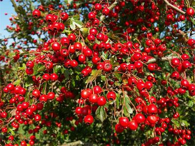 Alıç Meyveleri 6-10 mm. çapında, 1-3 tohumlu, esmer-kırmızı veya kırmızı renklidir. Hafif ekşimsi lezzetli meyveleri yenilmektedir. Alıç ağacının yaprak, çiçek ve meyveleri Orta Çağ'dan beri özellikle kalp destekleyici ve kalp-damar sistemi fonksiyonlarını normalize etmek için kullanılmaktadır. Her biri, bitkiye çok güçlü antioksidan özellikler veren flavonoid (flavonlar) bileşikleri açısından oldukça zengindir. Alıç, kalp-damar sistemi (cardiovascular system) üzerinde pozitif etkiler gösteren 3 grup ana bileşik içerir. Bu bileşikler, triterpenoid saponinler (tıiterpenoid saponins), arninler (amines) ve flavonlar (flavonoids)'dır. Alıcın antioksidan etkisi, serbest radikal oluşumunu engelleyerek kalbin tümünü olumlu yönde etkilemektedir.