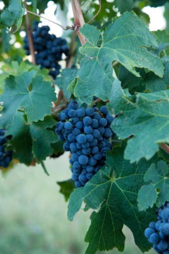 Üzüm (Vitis vinifera):  Yapılan birçok araştırma, günde bir ya da iki bardak şarap içenlerde kalp krizi riskinin yaklaşık olarak %25-40 oranında düştüğünü gösterdi. Üzüm kabuklarında fenol adı verilen ve şaraba kırmızı rengini veren bazı bileşikler bulunur. Fenoller, vücudu kötü kolesterolden korur. Bu yararlı bileşikleri almak için mutlaka şarap içmeniz gerekmez. Fenoller aynı zamanda kırmızı üzüm, kırmızı üzüm şırası, yaban mersini, böğürtlen, çay üzümü, sarımsak ve soğan gibi diğer birçok sebze ve meyvenin içeriğinde bolca bulunur.