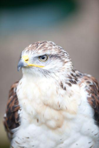 Kova:   Albatros, şahin, pelikan