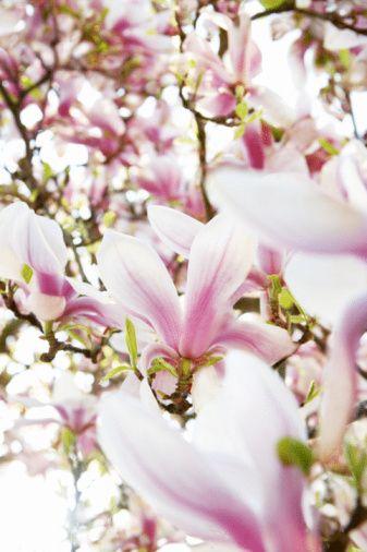 Parfüm seçmek için önce size uygun büyülü kokuları bilmelisiniz. İşte burcunuzun büyülü kokuları...  Koç:   Manolya, lavanta çiçeği, ıtır