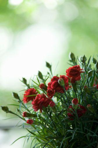 Boğa:   Karanfil, müge, elma çiçeği
