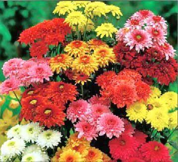 Kızarıklık alıcı: Krizantem Yapılan son araştırmalar, bir çeşit krizantem olan Chrysanthemum parthenium (feverfew) bitkisinin cilt kızarıklığı ve inflamasyona iyi geldiğini gösteriyor. Kızarık cildi sakinleştiren bitki, aynı zamanda kızarmayı da önleyebiliyor. İyi sonuç almak için, içeriğinde bu bitkinin bulunduğu nemlendirici ve temizleyicileri sabah-akşam kullanın.