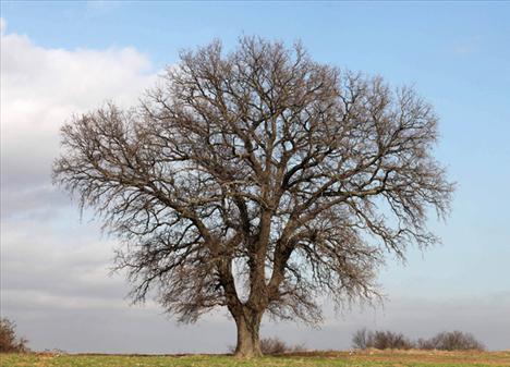 """Söylenen o ki, yapım şirketi, aradıkları ağacın özelliklerini TCDD'nin makinistlerine tarif edip, """"Böyle bir ağaç gördüğünüzde fotoğrafını çekip bize verir misiniz?"""" diye ricada bulundu.  Bu hatta çalışan trenlerin makinistlerinden biri de 'Yaprak Dökümü'nün bu ağacını görüp, Ay Yapım'a haber verdi:  """"Aradığınız ağacı buldum. Kırklareli  Edirne sınırında, tren yoluna 100 metre, kara yoluna ise 10-15  metre mesafede etrafı boş bir tarlanın üzerinde."""""""