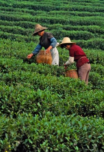 Dragon Well Sarımsı yeşil renkte düz yaprakları olan bu çay, Çinde en popüler çaylardan biridir.  Aroma: Kestaneyi andıran, yumuşak ve sıcak lezzet Yaratıcı ol: Yaprakları ufalayıp sevdiğin baharatlarla karıştır. Tavuk veya bifteği bu karışımla kapladıktan sonra pişirmeyi dene.