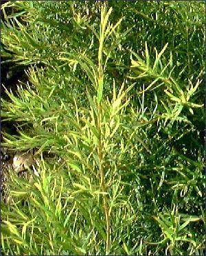 Çay ağacı, Avustralya'da yetişir. Avustralya yerlileri bu bitkinin yapraklarının şifa verici yönünü keşfetmiş, çay ağacının daha çok iyileştirici özelliklerinden yararlanmışlar. Avustralya halkının neredeyse her evinde kullanılan bir bitkidir. Mantar ve bakterileri öldürdüğü için doğal bir antibiyotik olarak kullanılır.
