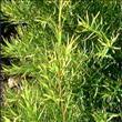 Çay ağacı yağının büyülü etkisi - 2