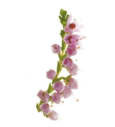 2) FUNDA  Funda yaprakları, idrar artırıcı etkisinin yanı sıra sindirimi kolaylaştırıcı özelliği bulunmaktadır.