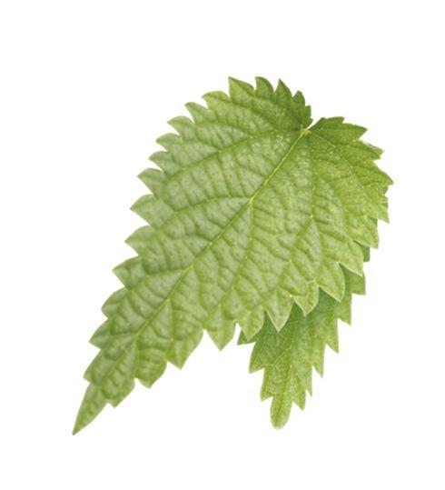 Isırgan:  Yaprakları da potasyum bakımından zengin bir idrar söktürücü olmasının yanı sıra vücuttaki ödemin atılmasına yardımcı olur.
