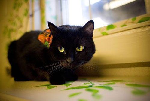 Kedilerden, özellikle siyah kedilerden nefret, Hıristiyanlığın kendinden önceki kültürleri ve onların sembol kabul ettiği şeyleri yok etme güdüsü ile Ortaçağda, İngiltere'de başladı.