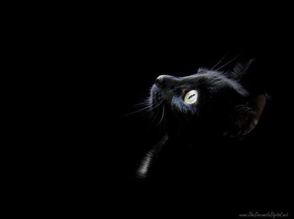 """Bağımsız, bildiğini yapan, """"inatçı"""" ve """"sinsi"""" karakteri, sayılarının da şehirlerde aşırı artması ile birleşince, kediler gözden düştü. O yıllarda evinde kedi besleyenler yalnız yaşayan fakir ve yaşlı kadınlardı. Yine o yıllar büyücü ve cadı inancının tüm Avrupa'da histeriye dönüştüğü yıllardı.   Siyah kedi besleyen bu kadınların kara büyü yaptıklarına ve siyah kedilerin geceleri şeytana dönüştüklerine dair korku dolu halk hikâyeleri üretildi. Cadı konusu bir paranoyaya dönüşünce birçok zavallı kadın kedisi ile birlikte yakıldı. Fransa'da kral 13. Louis bu uygulamayı yasaklayana kadar her ay binlerce kedi yakıldı."""