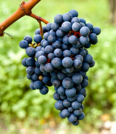 Yaz meyve ve sebzelerinin vücuda yararları   Üzüm: Vücudu zararlı maddelere karşı koruyan flavonoidleri içerir. Kalp hastalıkları ve kansere karşı korur.