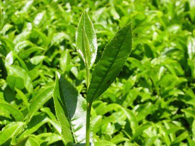 Çay ağacı nerede yetişir:  Çay ağacı, Avustralya'da yetişir. Avustralya yerlileri bu bitkinin yapraklarının şifa verici yönünü keşfetmiş, çay ağacının daha çok iyileştirici özelliklerinden yararlanmışlar. Avustralya halkının neredeyse her evinde kullanılan bir bitkidir. Mantar ve bakterileri öldürdüğü için doğal bir antibiyotik olarak kullanılır.