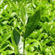 Çay ağacı yağının büyülü etkisi! - 2
