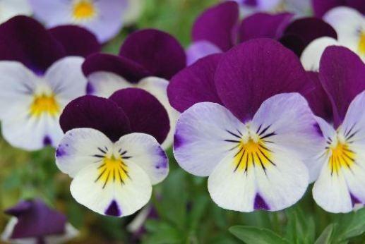 Menekşe   Yağlı ciltli insanlar bu çiçeğin özünden ya da yağından yararlanabilir. Bu çiçek C vitamini içerir. Menekşe yapraklarında yatıştırıcı bir şifa vardır. Bir miktar menekşeyi çiçek ve sapları ile kaynar suya dökün. Soğuduktan sonra günde üç kez bu su ile yüzünüzü silin. Losyonu buzdolabında en fazla üç gün muhafaza edebililirsiniz.