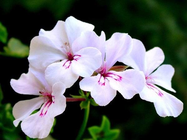 Sardunya   Bu çiçekle parlak saç oluşturmak için tonik yapabilirsiniz. Sardunya yapraklarını 20 dakika sıcak suda tutun. Sonra su ılıyınca bu su ile saçınızı yıkayın