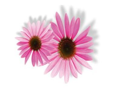 Ekinezya   Bu bitki genellikle nemlendirici içeren koruyucu kremlerde kullanılır. Cildi yenileyici olduğu gibi sivilce ve iltihaplara da iyi gelir.  Kadın Kanalları Editörü: Burcunur YILMAZ