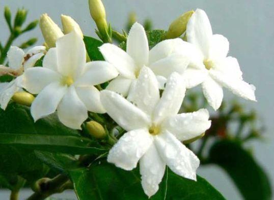Yasemin   Efsanevi bir çiçek... Uçucu yağı çok etkili. Çok sık kozmetik ürünlerde anti-aging için kullanılır. Cildi gençleştirir. Yasemin içeren aroma terapi yağı banyodan önce masaj yapılabilir. Ciltteki çizikler ve yara iyileşmesi için olumlu etkiler gösterir. Cildin esnek ve pürüzsüz hale gelmesine yardımcı olur.