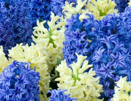 Sümbül   Bu çiçekteki özler kırışıklıkların ortaya çıkmasını önlemek, mükemmel pürüzsüz bir cilt oluşturmak içen kullanılır. Yaprakları zararlı atmosferik etkilere karşı korur.