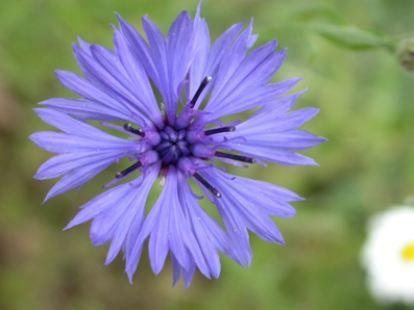 Peygamber çiçeği  Kozmetikte genellikle hassas göz kapağı derisinde ve göz çevresindeki sorunlu alanlar için kullanılır. Peygamber çiçeği özü kullanılarak hazırlanan ciltte şişme, kızarıklık ve kaşıntıları azaltır.