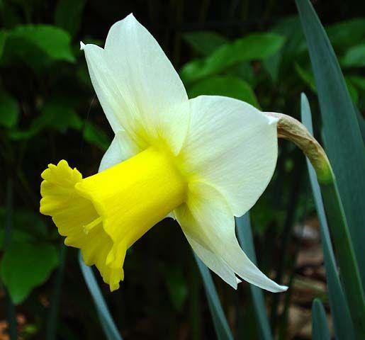 Nergisten gelen güzellik   Birçok çiçek kozmetikte krem yapımında kullanılır. Turuncu renkli nergis de bunlardan biridir. Şimdi bahçelerde tazesi var. Bir nergis çiçeğini yaprakları, sapı ve çiçeği ile 5 dakika (bir su bardağı su ile) kaynatın. Soğuduktan sonra yüzünüze sürün. Düzenli uygulamada cildinizinin canlandığını, çizgilerin azaldığını göreceksiniz.