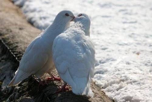 Kuşlar gerçekten ıslanmaz mı?  Kuşlar gagalarında ürettikleri yağı alarak tüylerine sürer. Bu da suyun yağı geçerek tüylere ulaşmasını engeller. Yani kuş tüyleri suya dayanıklıdır.