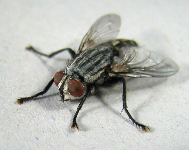 Kötü koku sinekleri neden çekiyor?  Kötü koku, çürümenin işaretidir. Bu da sineklerin rahatça üreyebileceği nemli ve yumuşak bir yer bulunduğunu gösterir. Kötü kokular özellikle dişi sinekleri çeker.