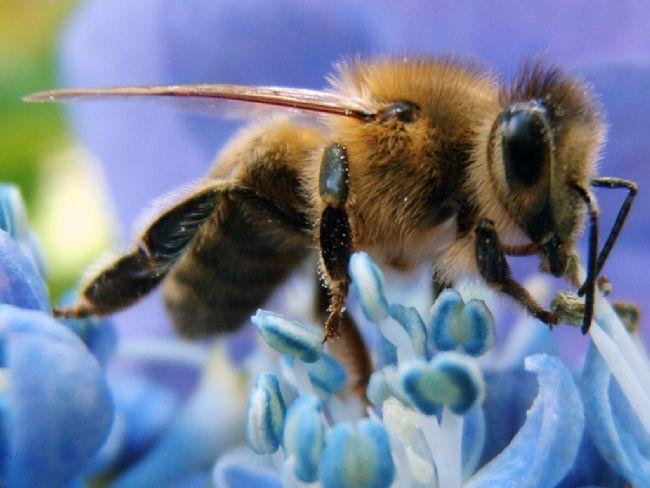 Eşekarısı bal yapar mı?  Hayır. Eşekarıları yalnızca çiçek özlerini emer ve ve bu özü yavrularını beslemek için de kullanır.