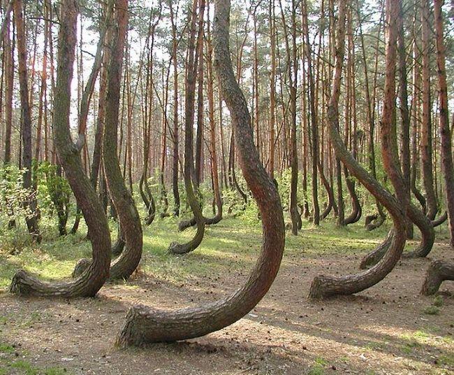 Polonya'daki bu yamuk orman gerçekten çok ilginç. Yaklaşık 400 kadar ağaç, topraktan çıkar çıkmaz 90 derecelik bir eğim yapıp daha sonra normal şekilde yükseliyor. Nedeni ise tamamen belirsiz.
