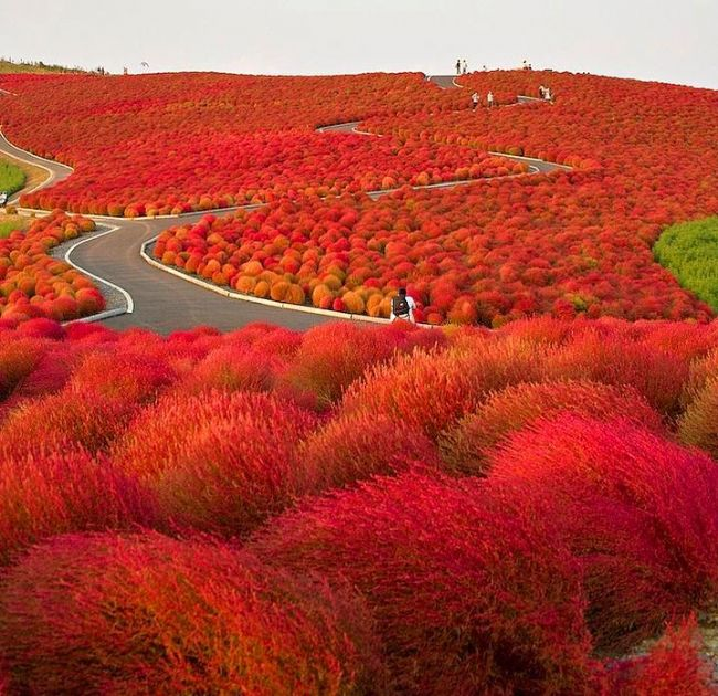 Japonya'da Hitachi Seaside Park'ta yılın her mevsimi farklı bir renk cümbüşü görebilirsiniz.