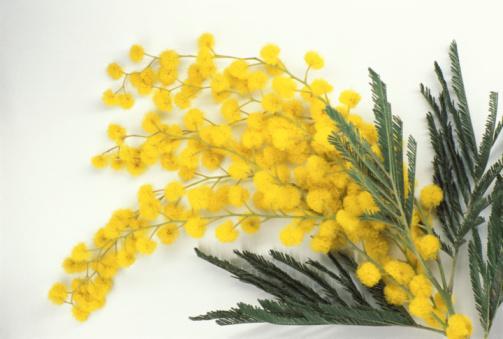 Akasya: Çiçek ve yaprakları kaynatılıp balla karıştırılarak günde yarım bardak içilirse astıma iyi gelir.