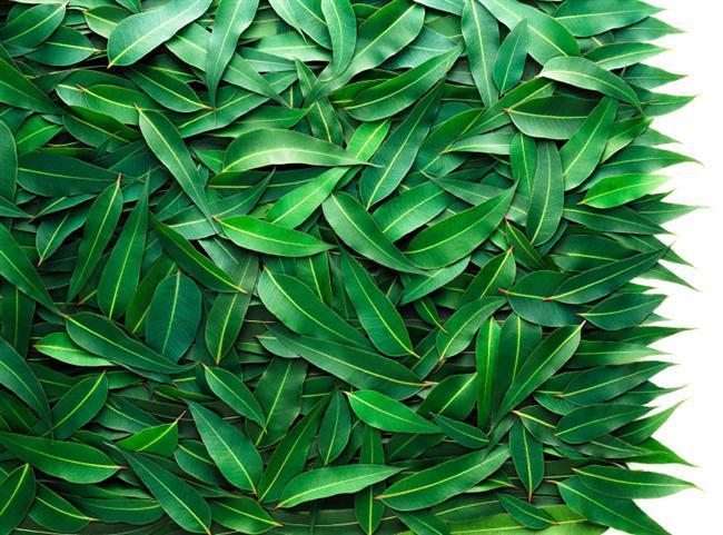 2. Nefesini tazele!  Okaliptus da tıpkı nane gibi ferahlatıcı bir etkisi vardır. Burun tıkanıklığına çok iyi gelir. Nefesi tazeleyerek ağız kokusunu önlemeye yardımcı olur.