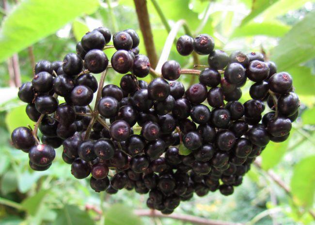 Mürver bitkisinin içerisindeki flavonoitler ve antosiyaninler antioksidan etkisinin yanı sıra bağışıklık sistemini uyarıcı etki gösterir ve vücudun direncini artırır.
