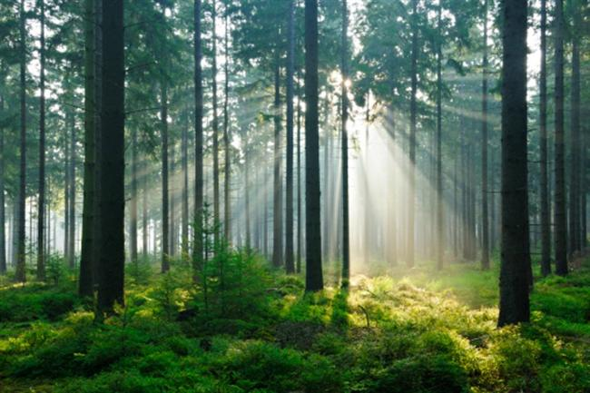 -Rusya´nın dörtte biri ormanlarla kaplıdır.