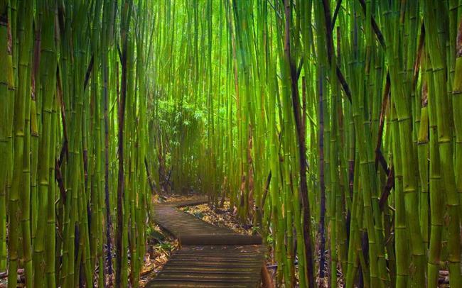 -Dünyanın en hızlı büyüyen bitkisi bambu, bir günde 90 cm kadar uzuyor.