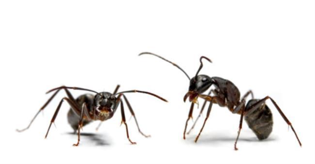 -Karıncalar uyumaz.
