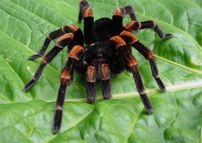 -Tarantulalar iki buçuk yıl yiyeceksiz yaşayabilirler.