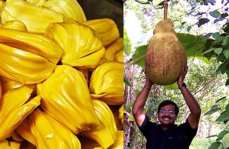 JackFruit (Jak Meyvesi)   Dünya üzerinde ağaçta yetişen en büyük meyve olduğu söylenir. 36 kg. ağırlığa, 90 cm boya ulaşabilir. Jackfruit A ve C vitaminleri, kalsiyum, potasyum, demir ve magnezyum açısından zengindir.