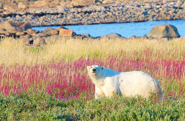 """Dünyanın kutup ayısı başkenti"" Churchill, Manitoba"