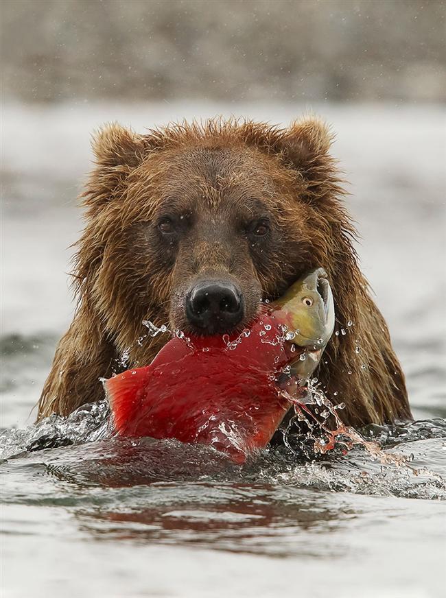 Kahverengi Ayı, Katmai Wilderness, Katmai National Park and Preserve, Alaska