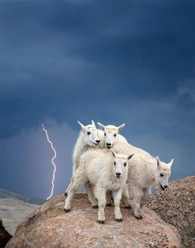 Yavru Dağ Keçileri, Mount Evans Wilderness, Colorado