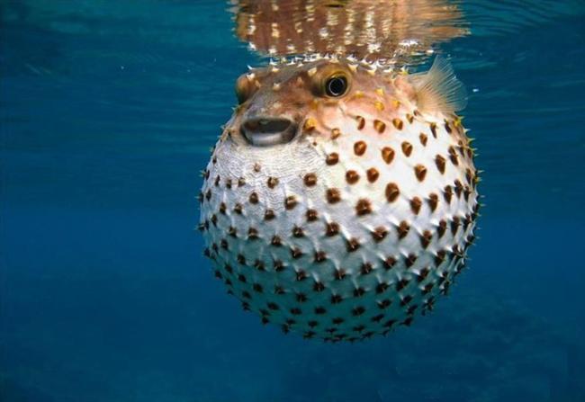 1-Balon Balığı  Denizdeyken bir zararı yoktur ancak yanlış tüketildiğinden siyanürden 50 kat daha etkili zehriyle kesin ölüme yol açar. Tehlike anında balon gibi şişmesiyle bilinen balık, iyi temizlenmeyerek tüketildiğinde tehlike arz eder.