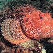 Denizlerimizdeki Bilinmesi Gereken 8 Zehirli Balık - 7