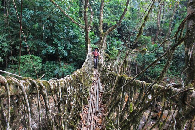 Oldukça sık olan Meghalaya ormanlarının içerisinde ağaçlar oldukça hızlı kök salıyor.