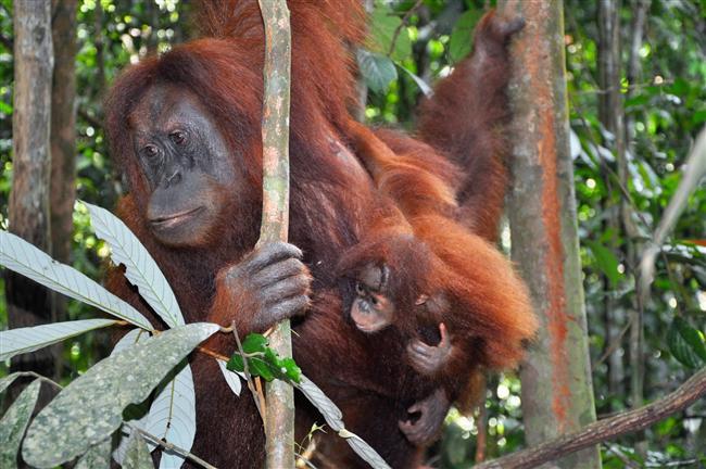 Sumatra Yağmur Ormanları- Endonezya