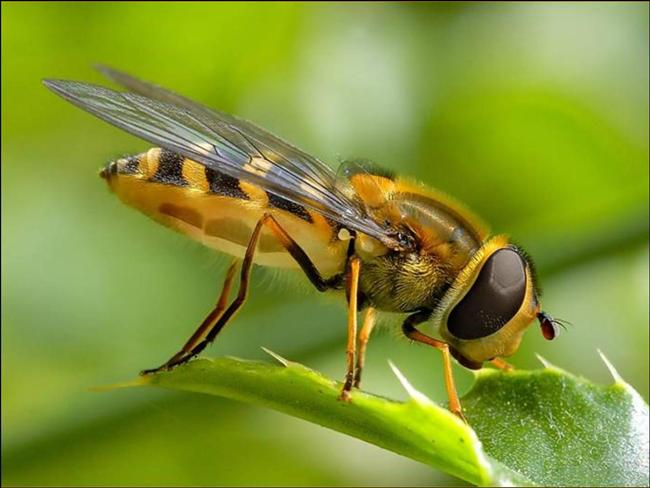 Arıların başlarının üzerinde 3 küçük, ön tarafta ise 2 büyük olmak üzere toplam 5 gözleri bulunuyor.