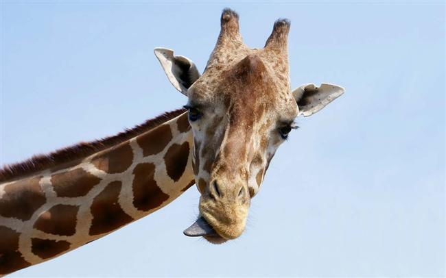 Bir zürafa dili ile kulaklarını temizleyebilir.