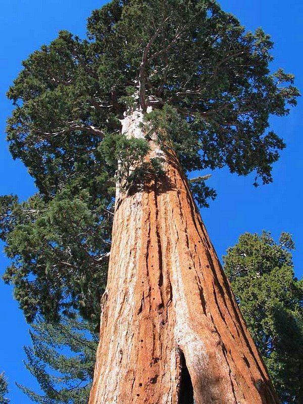 Dünyanın en uzun ağacı olan 'Hyperion'un yeri birkaç bilim adamı dışında kimse tarafından bilinmiyor.
