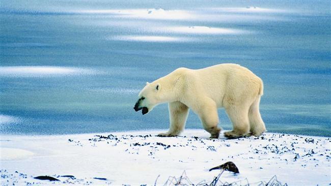 Peki tüm kutup ayılarının solak olduğunu biliyor muydunuz?