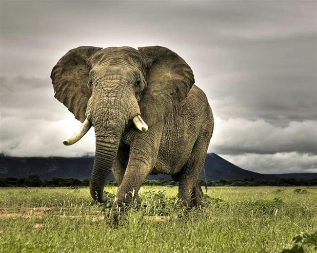 Filler, sırtlarındaki deri kıvrımlarını sivrisinekleri ezmek için kullanırlar.